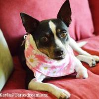 Adopt A Pet :: Kayla - Independence, MO
