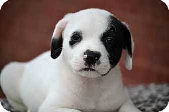 Labrador Retriever/Border Collie Mix Puppy for adoption in Bedminster, New Jersey - Eddison