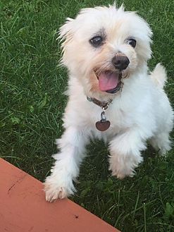 Maltese Mix Dog for adoption in Toronto, Ontario - BOJANGLES