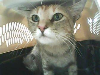 Domestic Shorthair/Domestic Shorthair Mix Cat for adoption in Farmington, New Mexico - Emily