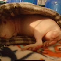 Adopt A Pet :: Calvin - Fullerton, CA