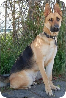 German Shepherd Dog Dog for adoption in Los Angeles, California - Spartan von Switzerland