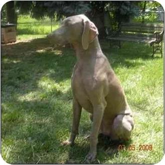 Weimaraner Dog for adoption in Grand Haven, Michigan - Skylar