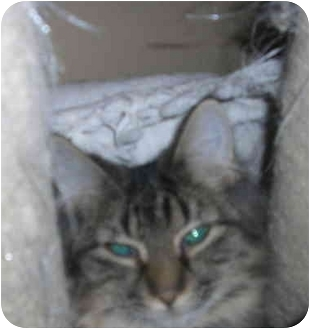 Domestic Longhair Cat for adoption in Marion, Wisconsin - Fauna