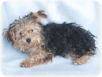 Yorkie, Yorkshire Terrier/Poodle (Miniature) Mix Puppy for adoption in Howell, Michigan - Marissa