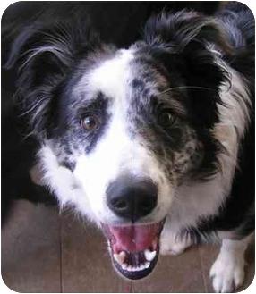 Border Collie/Australian Shepherd Mix Dog for adoption in Denver, Colorado - Bach