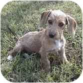 Dachshund/Wirehaired Fox Terrier Mix Puppy for adoption in Hagerstown, Maryland - Simon