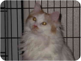 Domestic Mediumhair Cat for adoption in Coppell, Texas - Clancy
