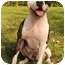 Photo 3 - American Staffordshire Terrier Mix Dog for adoption in Chicago, Illinois - Melody