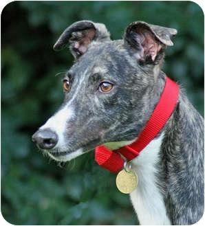 Greyhound Puppy for adoption in Portland, Oregon - Corky