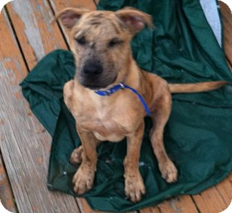 Catahoula Leopard Dog/American Pit Bull Terrier Mix Puppy for adoption in Clay, New York - Colby