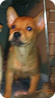 Shepherd (Unknown Type)/Corgi Mix Puppy for adoption in Nashua, New Hampshire - Castiel