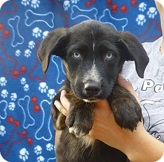 Husky/Labrador Retriever Mix Puppy for adoption in Oviedo, Florida - Jenn