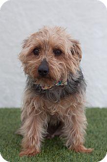 Yorkie, Yorkshire Terrier Dog for adoption in Auburn, California - Toby