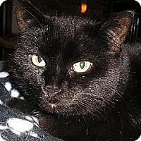 Domestic Shorthair Cat for adoption in Eldora, Iowa - Charlene