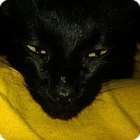 Adopt A Pet :: Cuddles FIV+ (lap cat) - Sterling Hgts, MI