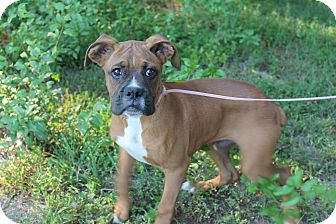 Boxer Mix Dog for adoption in Windham, New Hampshire - Ziggy the Boxer Pup