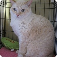 Siamese Cat for adoption in Houston, Texas - Gentleman Jim