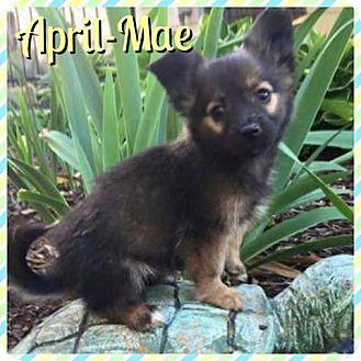 Sheltie, Shetland Sheepdog/Dachshund Mix Puppy for adoption in Newnan, Georgia - April-Mae