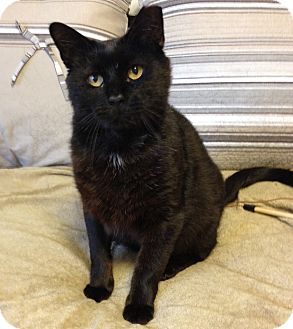 Domestic Shorthair Cat for adoption in Lombard, Illinois - Jack
