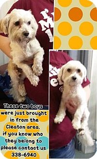 Maltese Dog for adoption in Greenville, Kentucky - Snowball and Snowflake