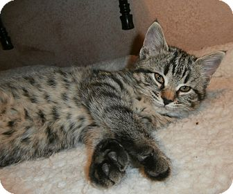 American Shorthair Kitten for adoption in Fort Worth, Texas - Mazie