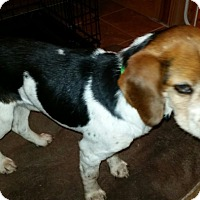 Adopt A Pet :: Twister Keston - Waldorf, MD