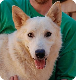 Shepherd (Unknown Type)/Labrador Retriever Mix Dog for adoption in Las Vegas, Nevada - Colton