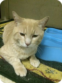 Domestic Shorthair Cat for adoption in Pasadena, California - Teddybear