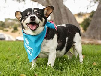 Terrier (Unknown Type, Medium)/Chihuahua Mix Dog for adoption in Pacific Grove, California - Daisy Maisy