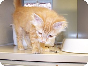 Domestic Longhair Kitten for adoption in DeLand, Florida - Buttercup