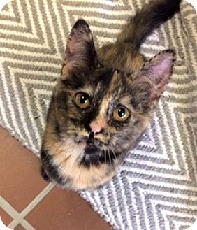 Domestic Shorthair Kitten for adoption in White Cloud, Michigan - Francis