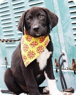 Labrador Retriever Mix Dog for adoption in East Hartford, Connecticut - Baileigh in CT