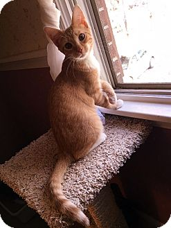 Domestic Shorthair Kitten for adoption in Colmar, Pennsylvania - Jamie