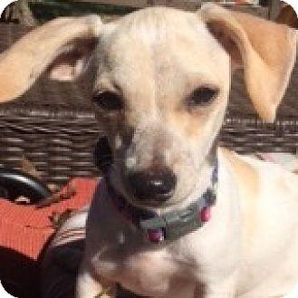 Dachshund/Chihuahua Mix Puppy for adoption in Houston, Texas - Angel Aviator