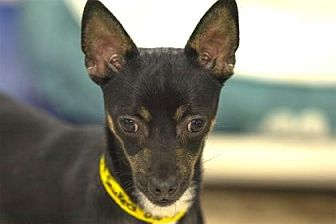 Chihuahua Mix Dog for adoption in Colorado Springs, Colorado - Snickers
