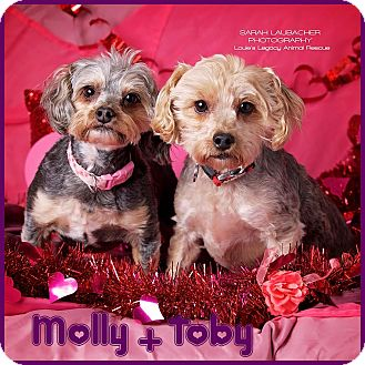 Yorkie, Yorkshire Terrier/Poodle (Miniature) Mix Dog for adoption in Cincinnati, Ohio - Molly and Toby