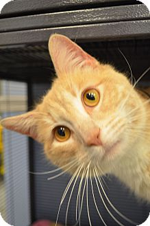 Domestic Shorthair Cat for adoption in Martinsville, Indiana - Tommy Walnut