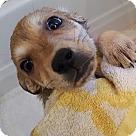 Adopt A Pet :: Tika