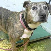 Adopt A Pet :: FOXXY - Atlanta, GA