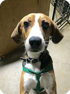 Treeing Walker Coonhound Dog for adoption in Spartanburg, South Carolina - Toby Man of Cumberland