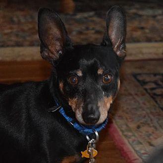 Miniature Pinscher Dog for adoption in Rockville, Maryland - Peanut