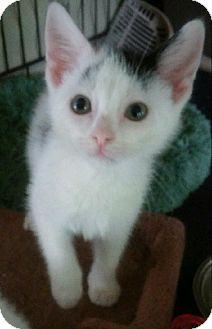 Domestic Shorthair Kitten for adoption in Centerton, Arkansas - Sheldon