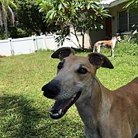 Adopt A Pet :: Dutch Connor - North Port, FL
