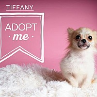 Adopt A Pet :: Tiffany - Harrisburg, PA