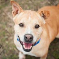 Adopt A Pet :: Tonka - Georgetown, TX