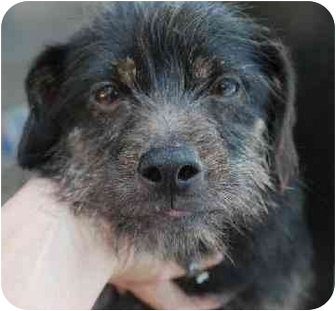 Cairn Terrier Mix Dog for adoption in Calgary, Alberta - Smooch