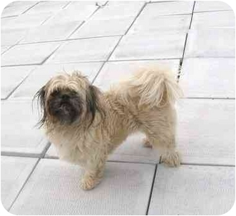 Shih Tzu Mix Dog for adoption in Ile-Perrot, Quebec - Wilma