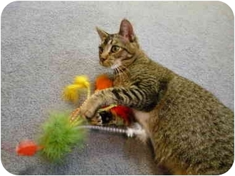 Abyssinian Kitten for adoption in Davis, California - Rosie