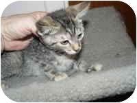 Domestic Shorthair Kitten for adoption in Tampa, Florida - Lona